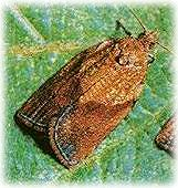 Lightbrown apple moth