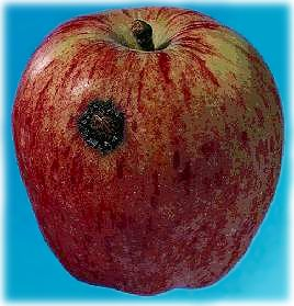 Black spot (scab) of apple