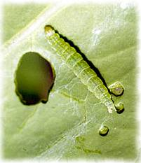 Diamondback moth larva