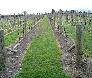 A dormant vineyard recently sprayed with glyphosate